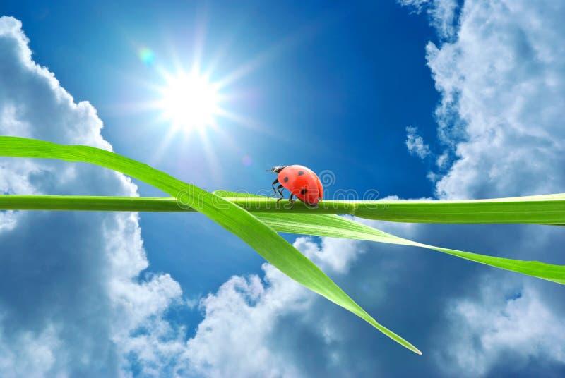 Ladybug che osserva sul sole immagini stock