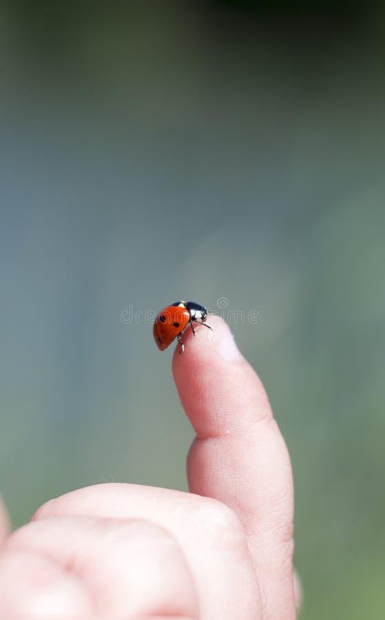 Ladybug on the child's finger stock images