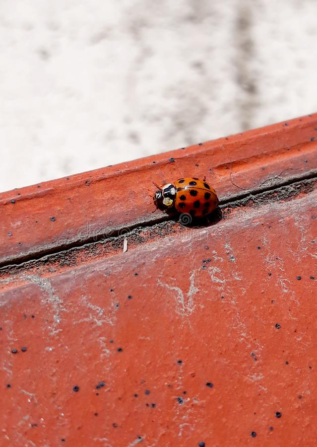 Ladybug climbing on a piece of red tile. With a bright gray background royalty free stock photography