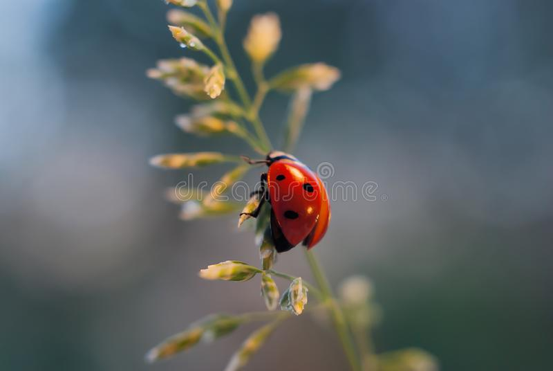 Ladybug climbs up the green blade of grass on a blue background royalty free stock photography