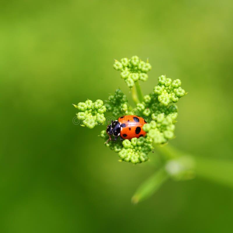 Ladybug on green flower. Topview of an Australian ladybug feeding on a tiny flower. Blurred background. Bokeh royalty free stock photos