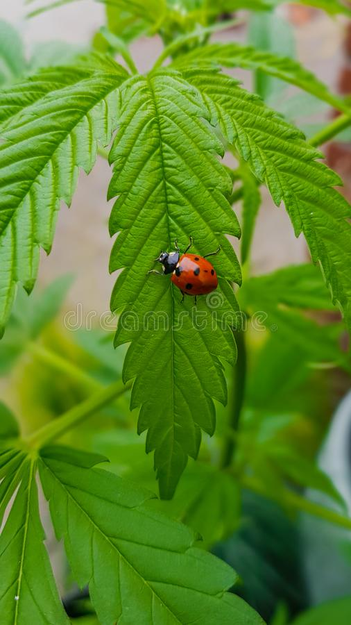 Beautiful ladybug macro contrasting with big, green cannabis leaf royalty free stock images