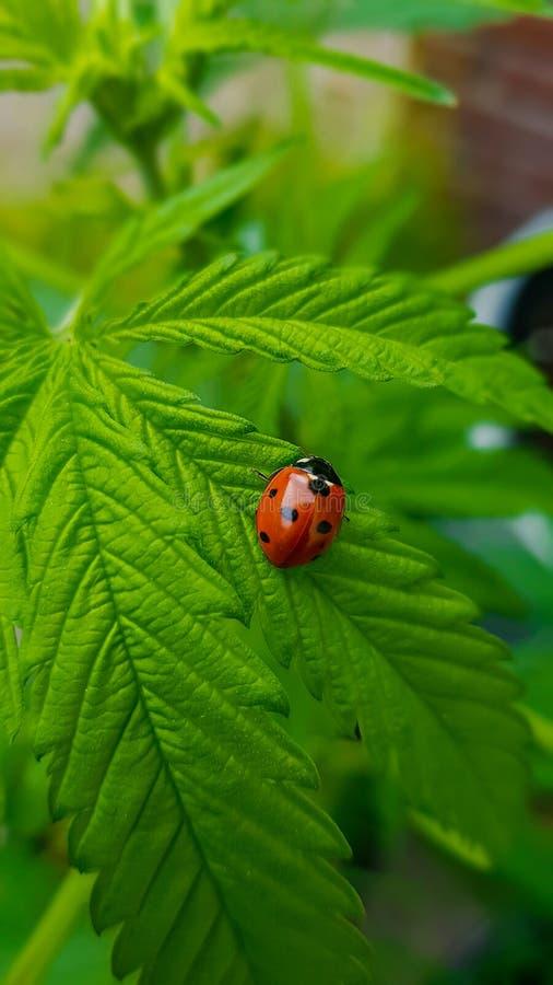 Beautiful ladybug macro contrasting with big, green cannabis leaf stock images