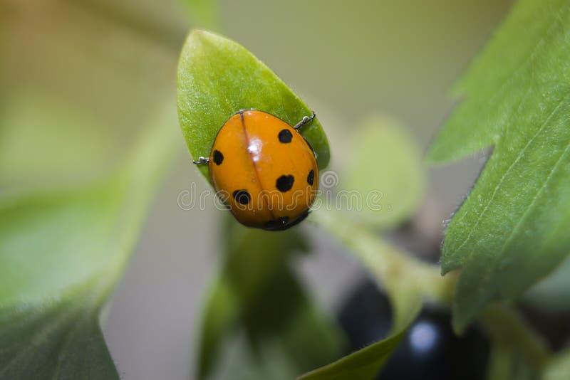Ladybug closeup sitting on a leaf royalty free stock photography
