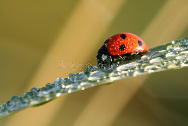 Ladybug com gotas da água imagens de stock