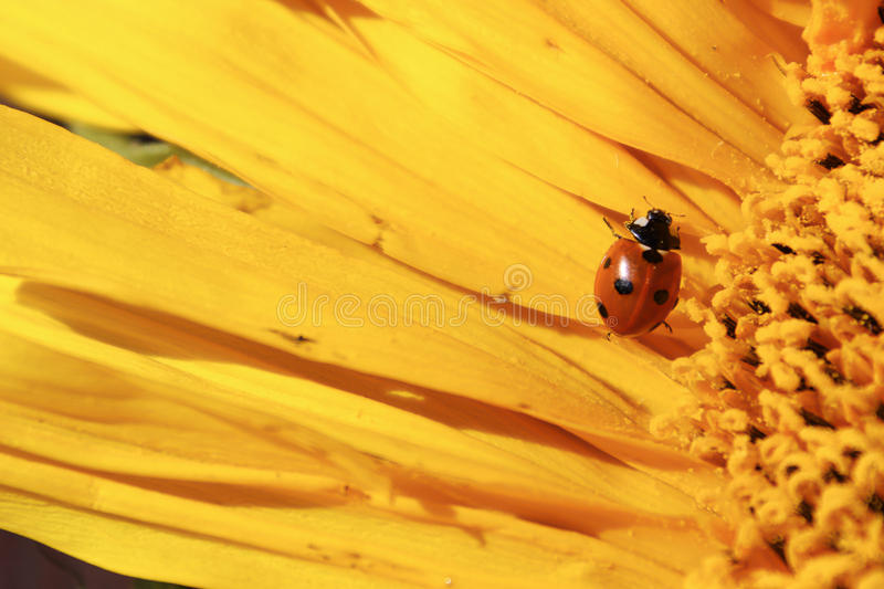 A ladybug covered in pollen crawling over a sunflower stock photography