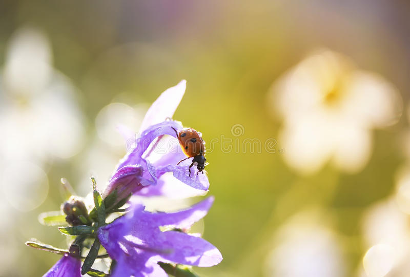 Little ladybug crawling on a flower bell on a Sunny summer day royalty free stock photo