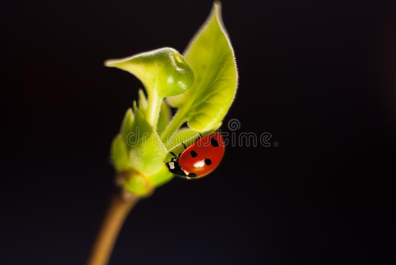 Ladybug crawling on a sprig of lilac with young green leaves on a black background royalty free stock photo