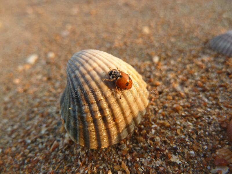 A ladybug crawls on a seashell on the beach sunset. A ladybug crawls on a seashell on the beach in the rays of the setting sun stock photo
