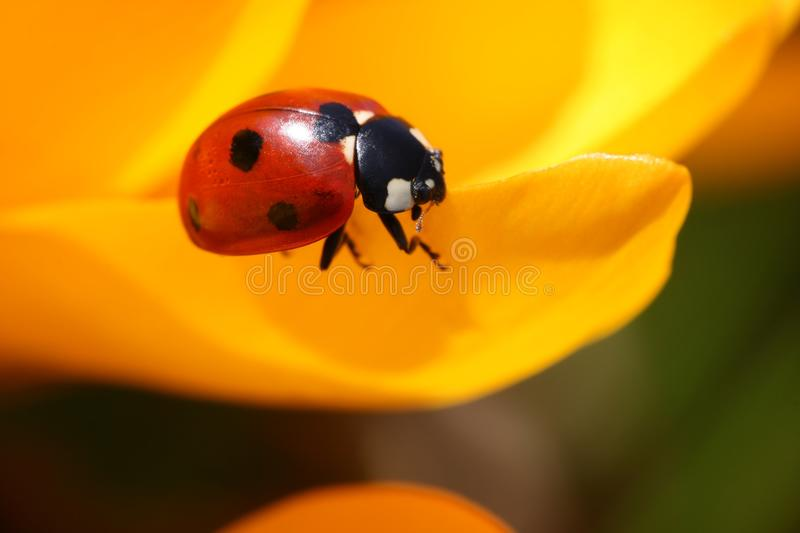Download Ladybug on crocus stock photo. Image of insect, nature - 13850284
