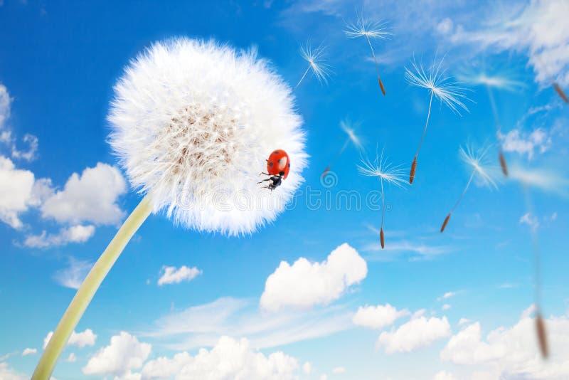 Download Ladybug On A Dandelion Stock Image - Image: 33551471