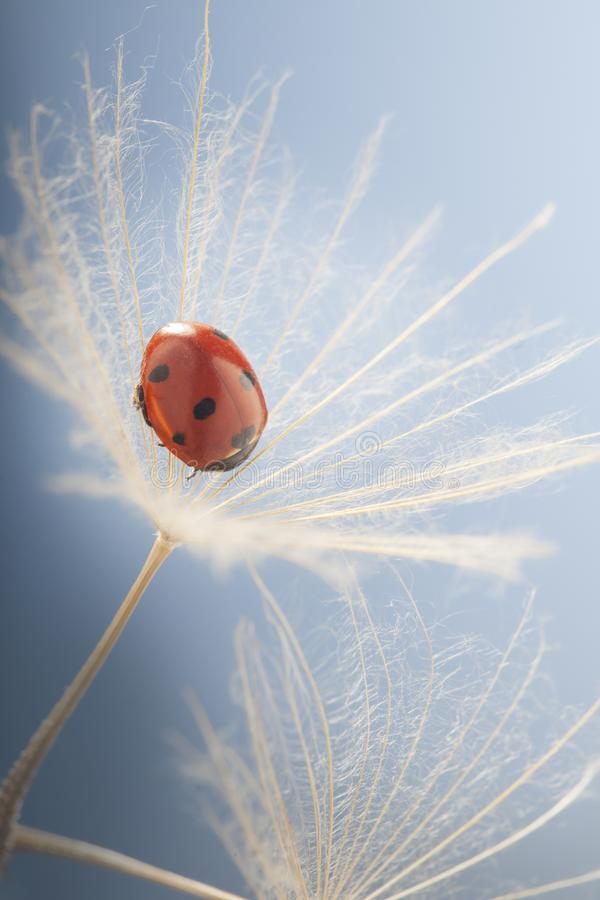 Ladybug and dandelion, macro shot, on blue background. ladybird. stock photography