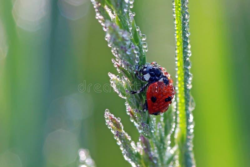 Ladybug in de ochtenddauw stock afbeeldingen