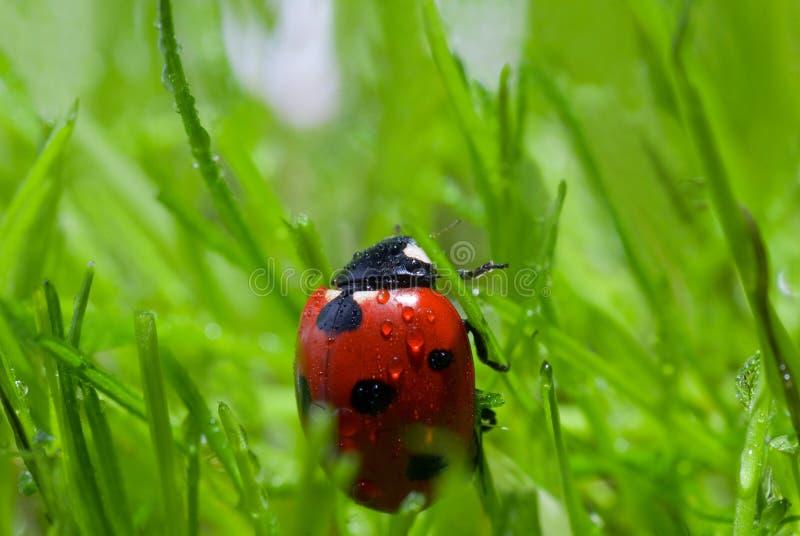 Ladybug With Dew Royalty Free Stock Photo