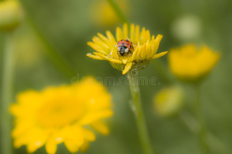 Download Ladybug with dew drop stock image. Image of decempunctata - 25903605