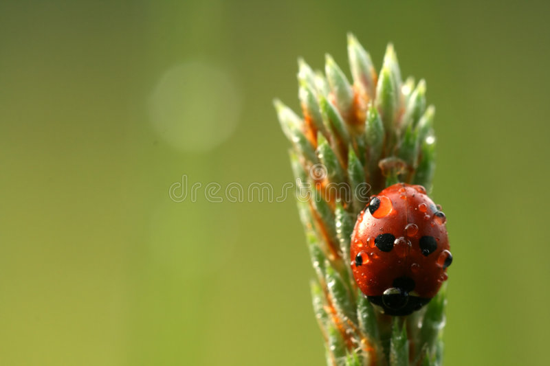 Download Ladybug with drops of dew stock image. Image of cute, error - 5395927