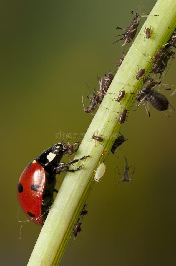 Ladybug e afídios foto de stock