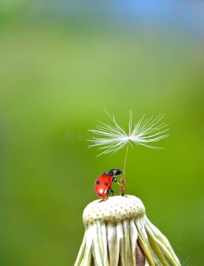 Ladybug e dente di leone fotografie stock libere da diritti