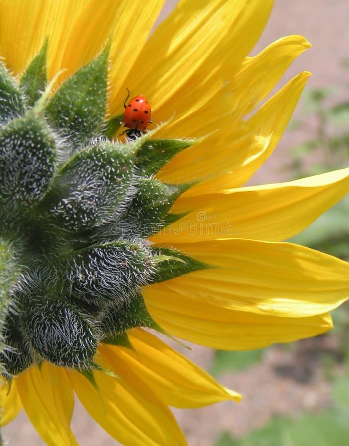 Download Ladybug e girassol imagem de stock. Imagem de fuzz, brilhante - 101619