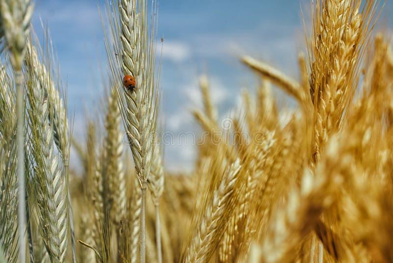 Ladybug on ear of wheat stock images