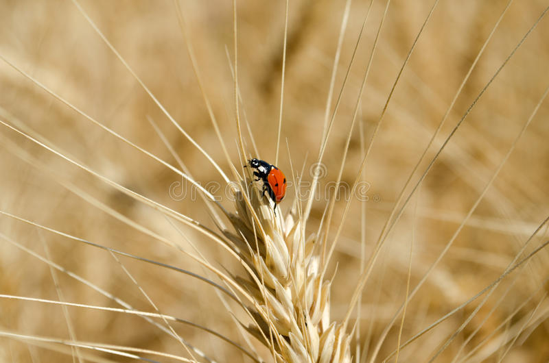 Ladybug on ear of wheat in the field close-up photo. Ladybug on ear of wheat in the field close-up stock image