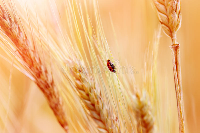 Ladybug on the ear of wheat in sunset light. Ladybug on the ear of wheat in sunset light stock photos