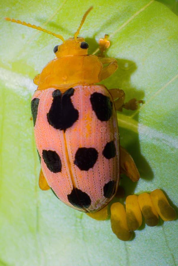 Ladybug and eggs on tree leaf stock image