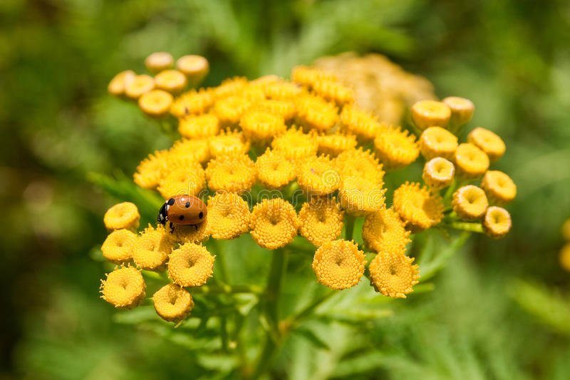 Ladybug em flores amarelas fotos de stock royalty free