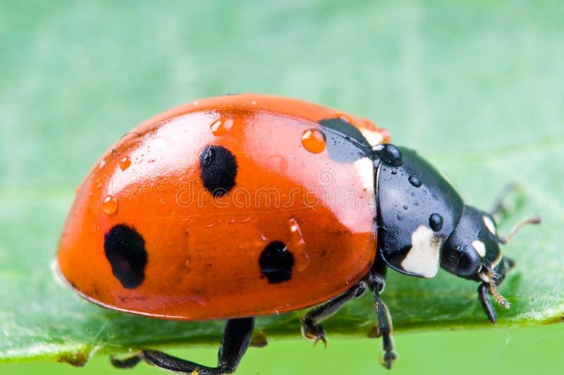 Ladybug em uma folha verde. foto de stock royalty free