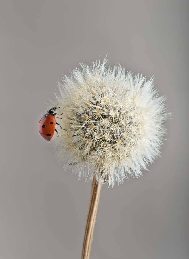 Ladybug en el diente de león foto de archivo