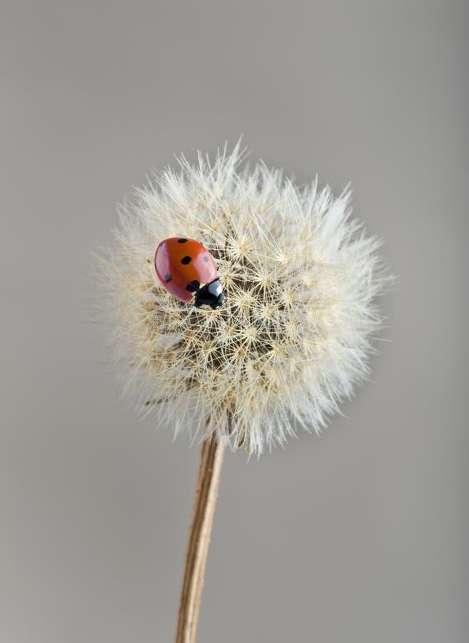 Ladybug en el diente de león imagen de archivo libre de regalías
