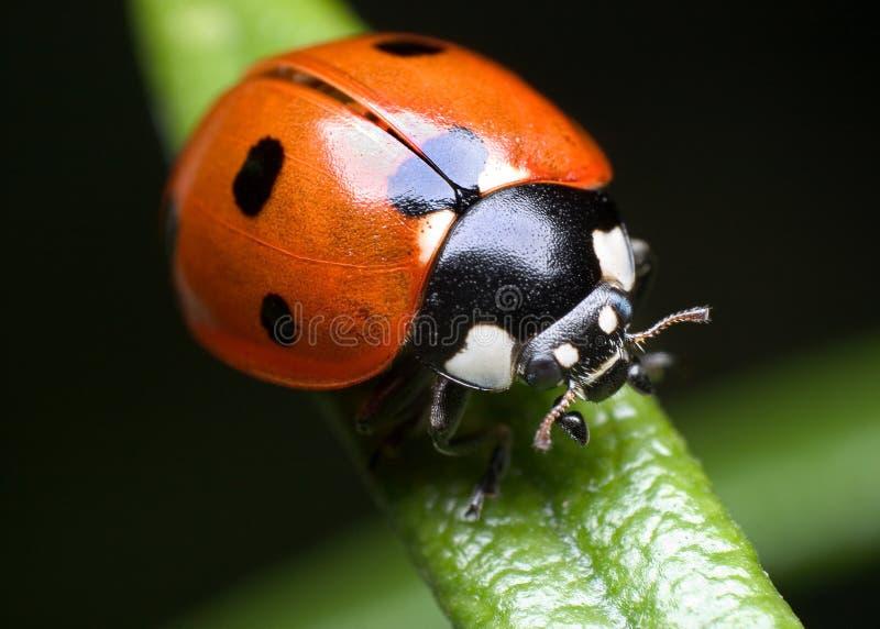 Ladybug en el romero fotos de archivo
