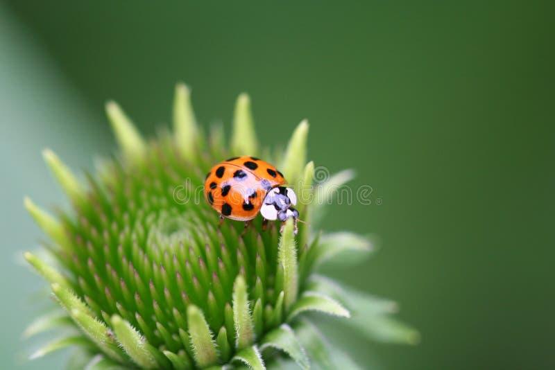 Ladybug en flor imagen de archivo libre de regalías
