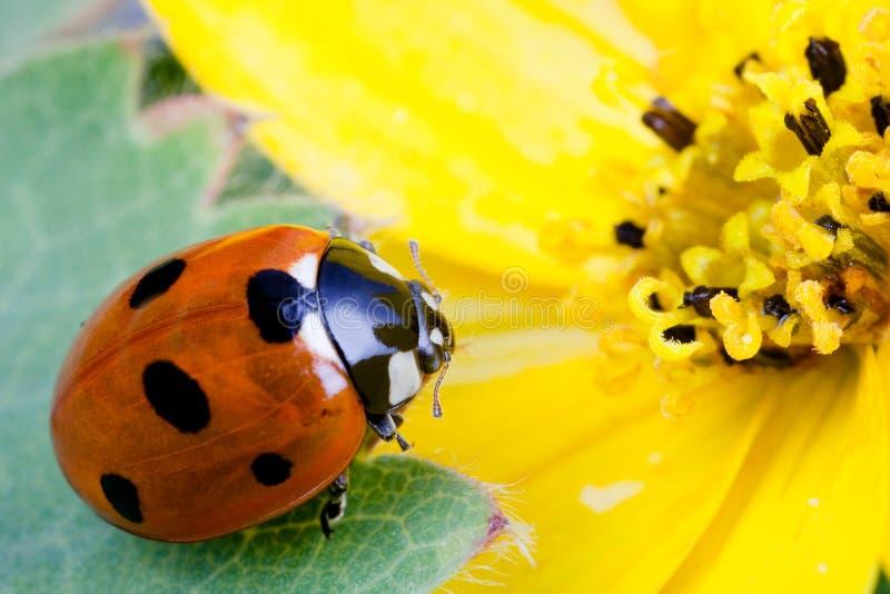 Ladybug en la flor fotos de archivo libres de regalías