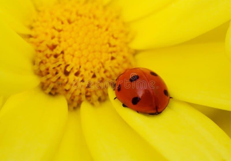 Ladybug en la flor amarilla foto de archivo libre de regalías