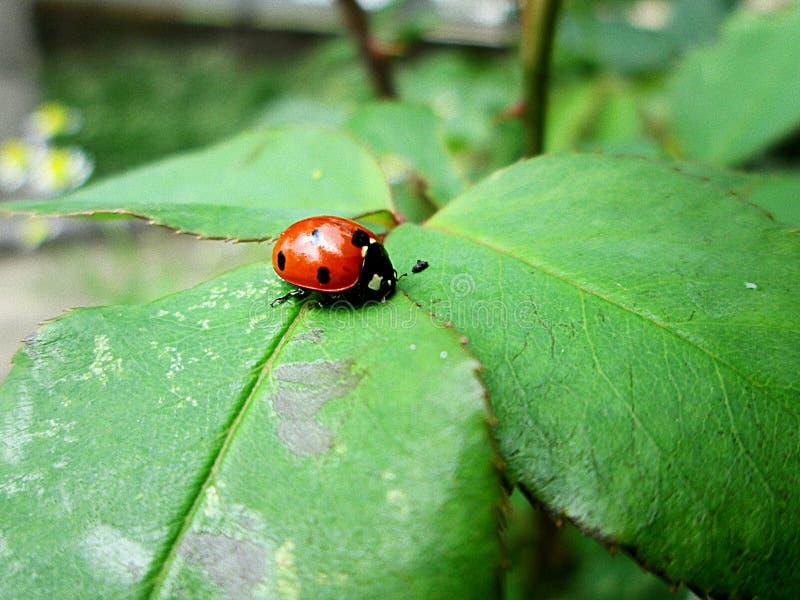 Ladybug en la hoja foto de archivo libre de regalías