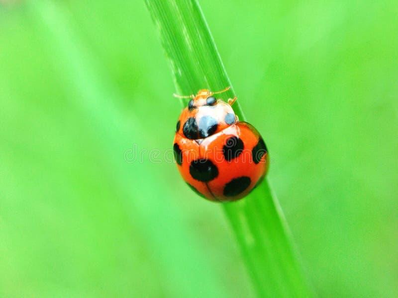 Ladybug en la hoja verde imagen de archivo