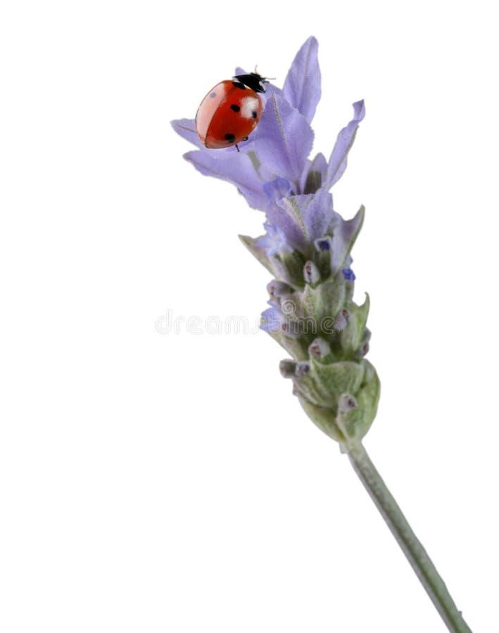 Ladybug en la lavanda foto de archivo