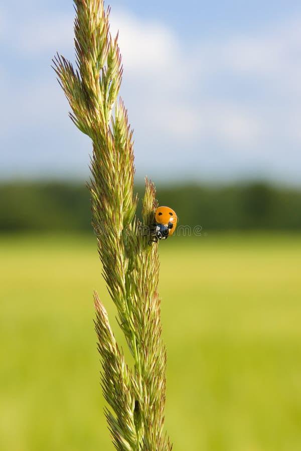 Ladybug en un punto de la hierba foto de archivo libre de regalías
