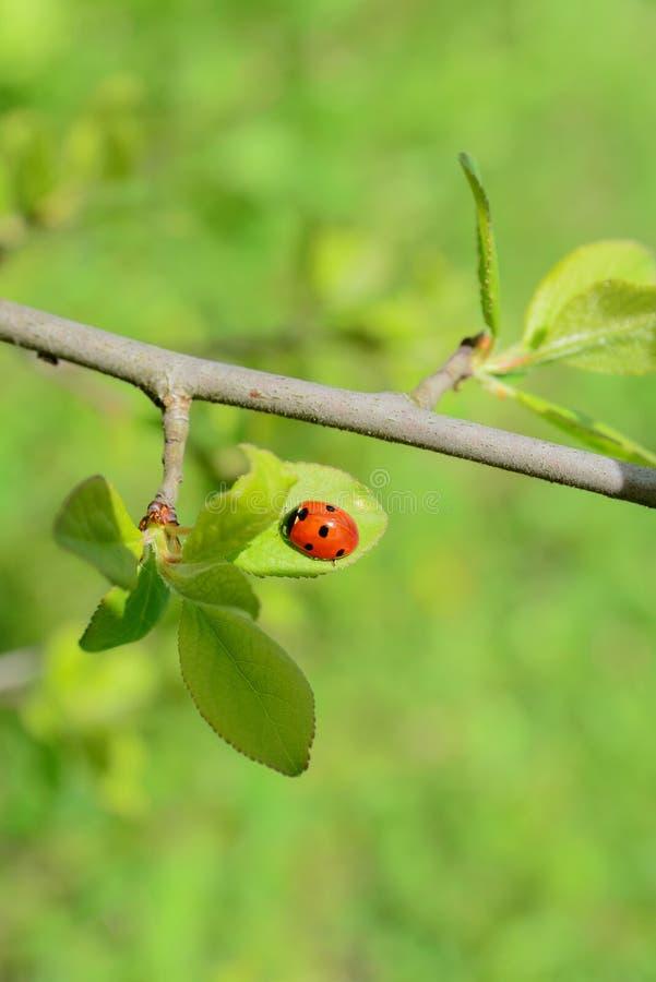 Ladybug en una hoja verde imagenes de archivo