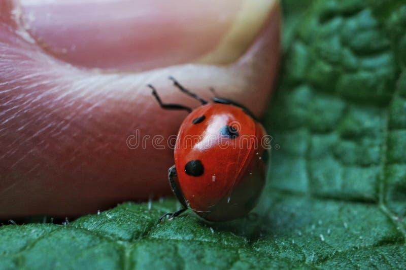 Ladybug on the finger royalty free stock photography