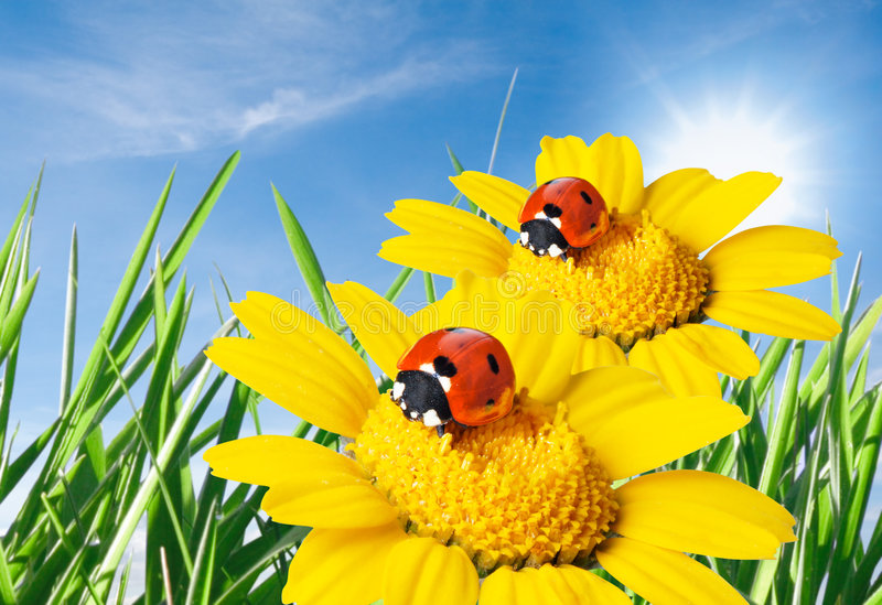 Download Ladybug in a flower stock photo. Image of blue, ladybug - 8993026