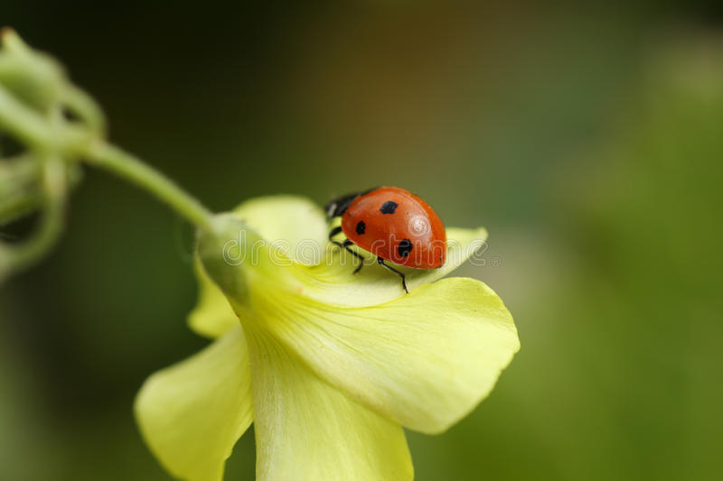 Download Ladybug on flower stock photo. Image of garden, cute, insect - 9961106