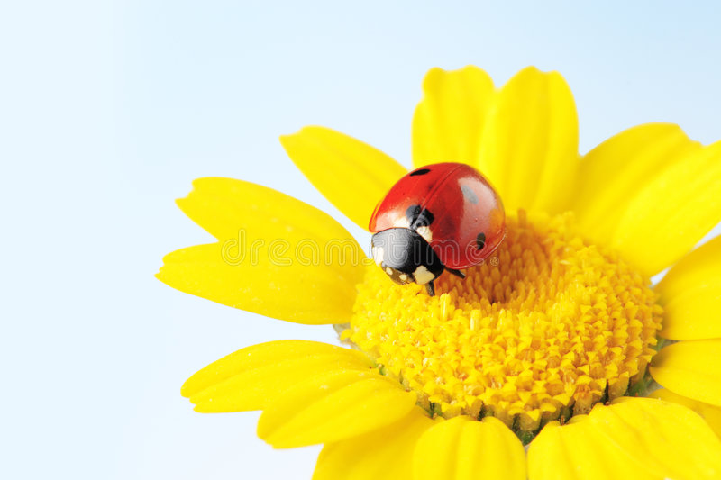 Ladybug in a flower isolated