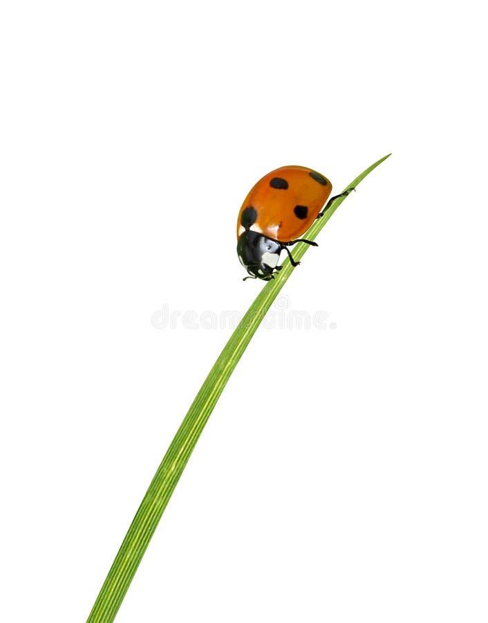 Ladybug on grass. On a white bg royalty free stock photos