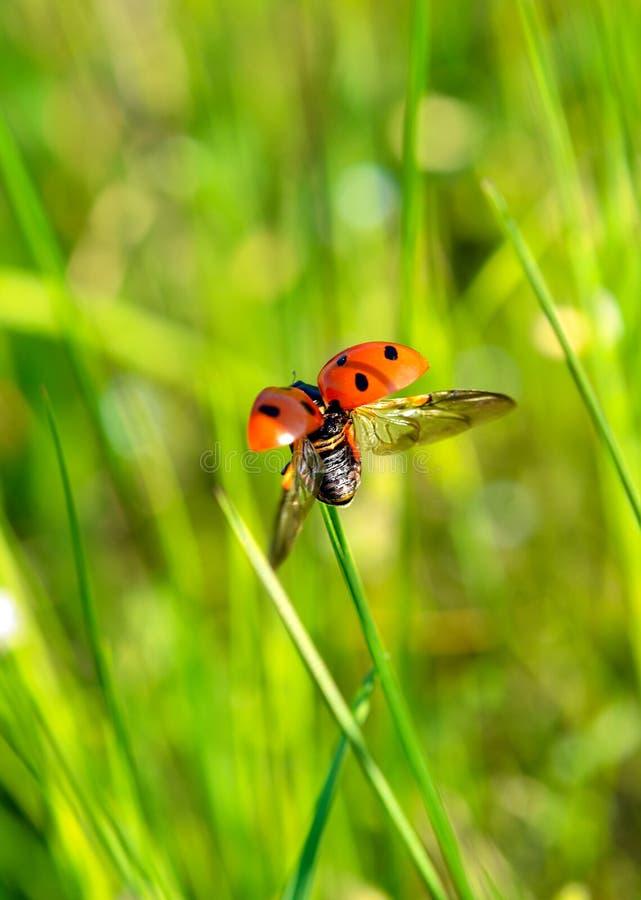 Ladybug on grass. Take macro shoot Ladybug on grass stock image