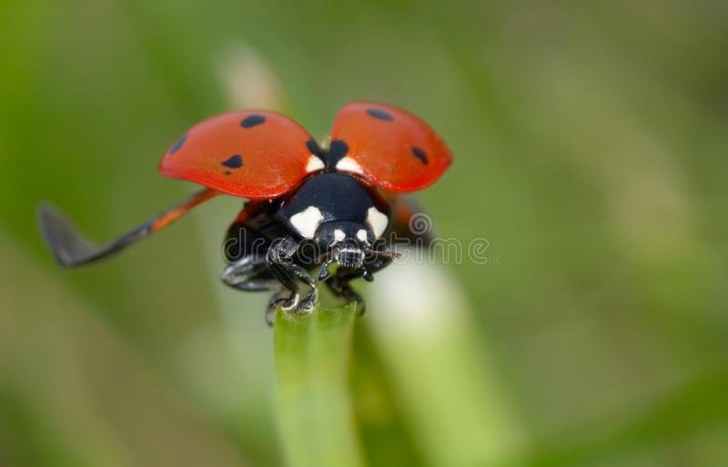 Ladybug On The Grass Free Stock Photos
