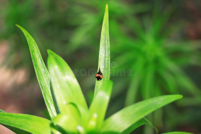 Ladybug and grass. The close-up shot of ladybug and grass. photo taken in Beijing China royalty free stock photography