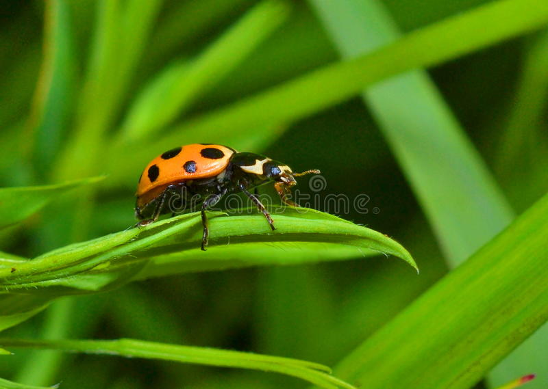 Ladybug on a grass stock images