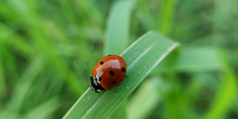 Ladybug on grass leaf blade in rainy session stock photos